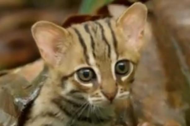 divlja gola maca